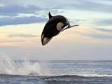 墨西哥虎鲸捕食海豚 狂追2小时终得手