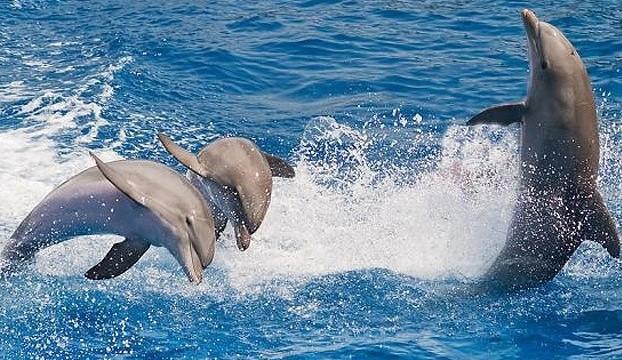 海洋哺乳动物 鼠海豚 维基百科 环球网 大陆架 高智商 软体动物 鱼类