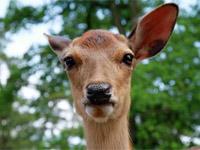 奈良公园——鹿