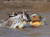 实拍鳄鱼群排队撕食河马捕食角马