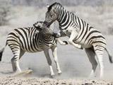 非洲斑马为争当领头人激烈打斗