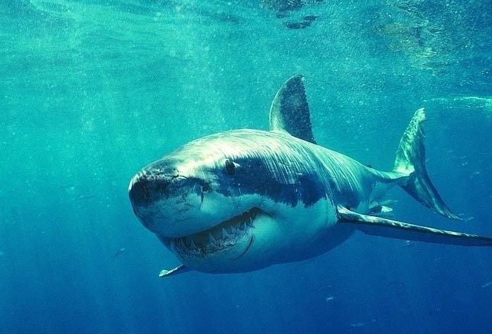 美国:视频被当场拖上岸强行产小鲨后死去_+视网上教程卖鲨鱼图片