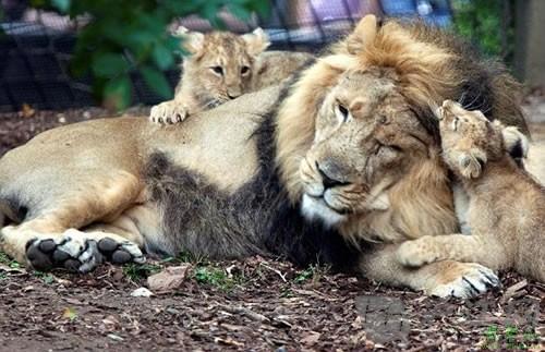 野生动物园狮妈妈一胎诞下三只小宝宝