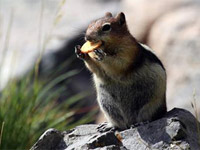 加拿大班夫国家公园内的可爱的地松鼠