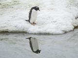 臭美企鹅自我陶醉赏倩影不忍离去