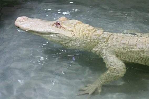 捷克动物园罕见白化鳄鱼皮肤如雪(组图)