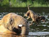 大象与小狗成密友水中接球玩耍