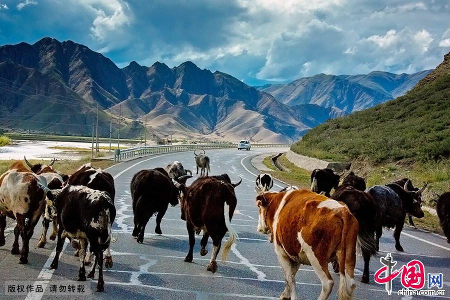 沿途偶尔还会有成群结队的牦牛悠闲地穿过道路,审视着每一个路过的旅客。 中国网图片库 晨珠/摄