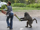 """南非狒狒數量激增 """"埋伏打劫""""當地居民[組圖]"""