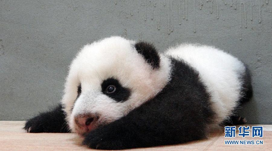 """目前,出生80多天的大熊猫宝宝""""圆仔""""在台北市动物园保育员的协助下"""