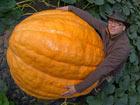 德国:一菜园长出320公斤巨型南瓜[组图]