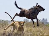 非洲水牛空中跳跃近2米 惊险逃脱猛狮利爪