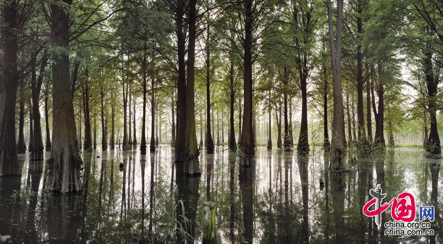【水之杉 杉之林】摄于上海青浦 杉树种子是72年尼克松访华时送的国礼