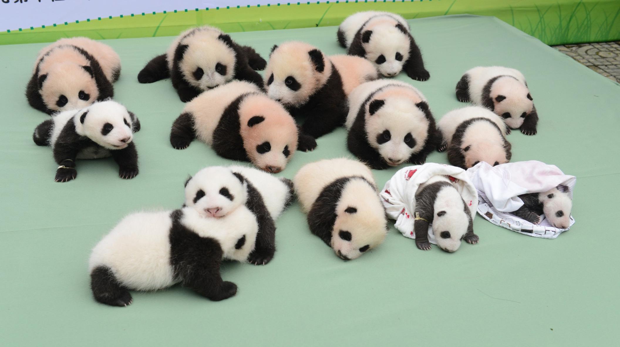 中国保护大熊猫研究中心新生大熊猫宝宝集体亮相[组图]
