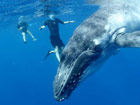 潛水員東加海域與40噸巨鯨同遊 膽量驚人[組圖]