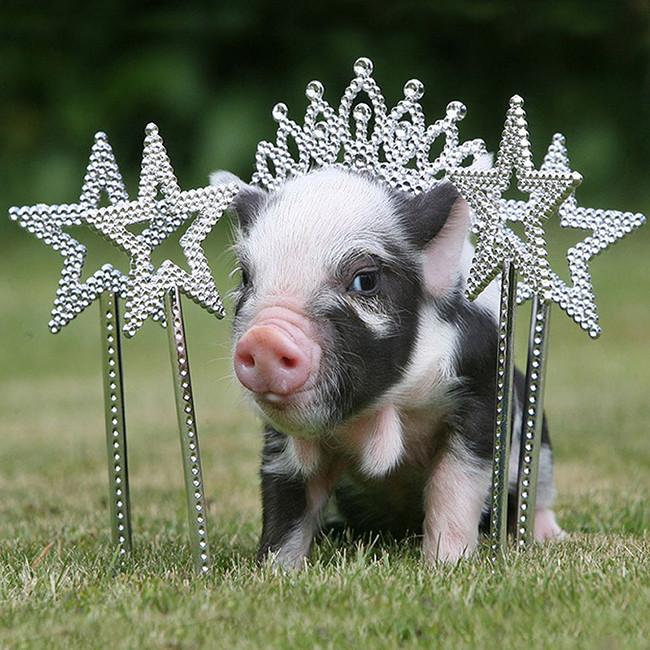 超萌迷你宠物猪的幸福生活[组图]