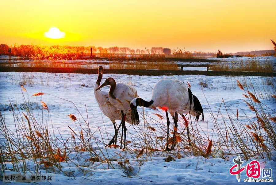 丹顶鹤在冰雪上优雅地踱步,让扎龙冬季的原野一下子灵动起来。 中国网图片库 王辉/摄