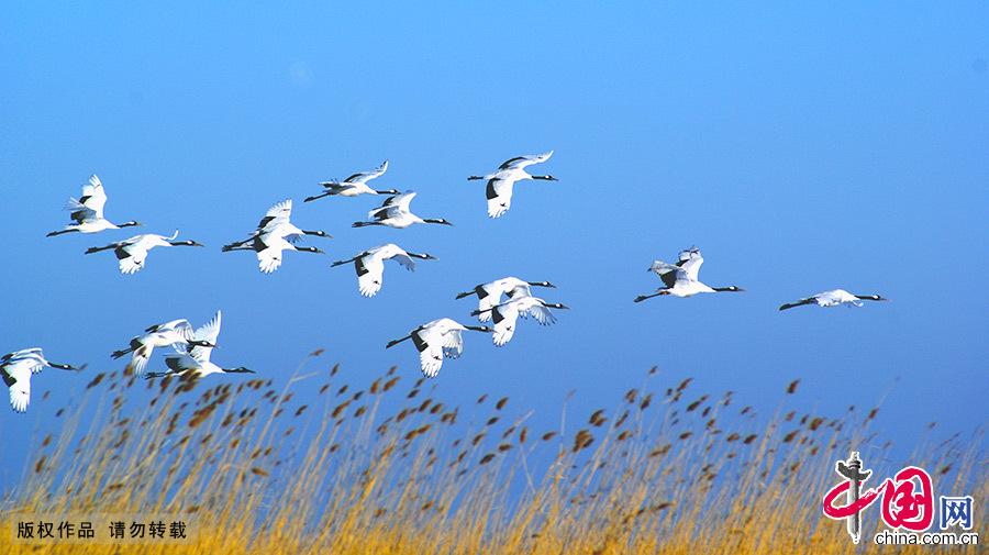 """扎龙保护区的主要保护对象是丹顶鹤等珍禽及湿地生态系统,被誉为""""鹤的故乡""""。 中国网图片库 王辉/摄"""