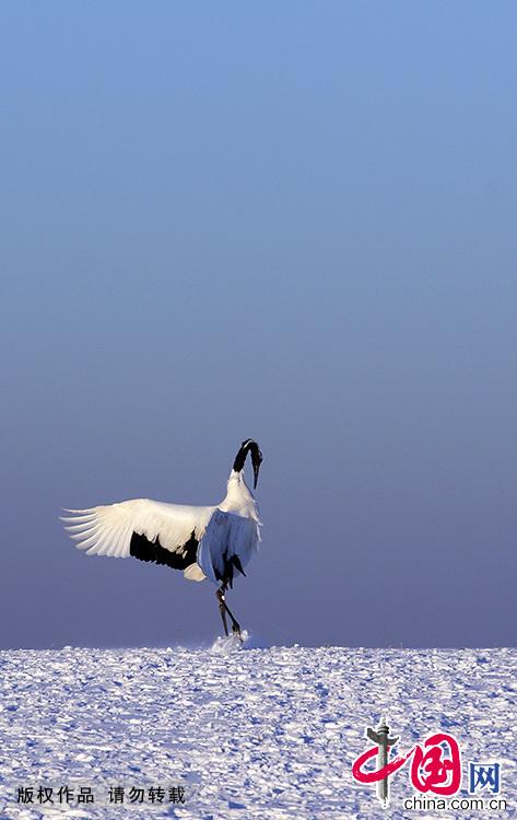 丹顶鹤在冰雪上优雅地踱步,让扎龙冬季的原野一下子灵动起来。 中国网图片库王辉/摄