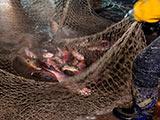 克爾臺湖冬捕 漁場的豐收時光[組圖]