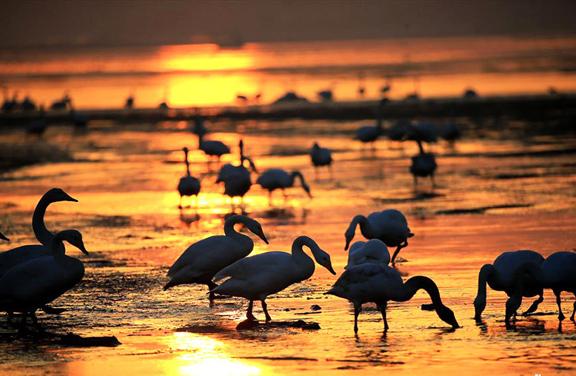 东方天鹅王国 世界著名天鹅栖息地