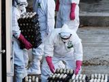 南韓高致病性禽流感疫情擴散 春節成防控難關[組圖]