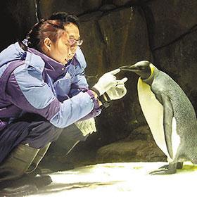 香港海洋公园旺丁 年内诞21只企鹅宝宝