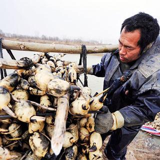 【图片故事】黄河滩上挖藕人