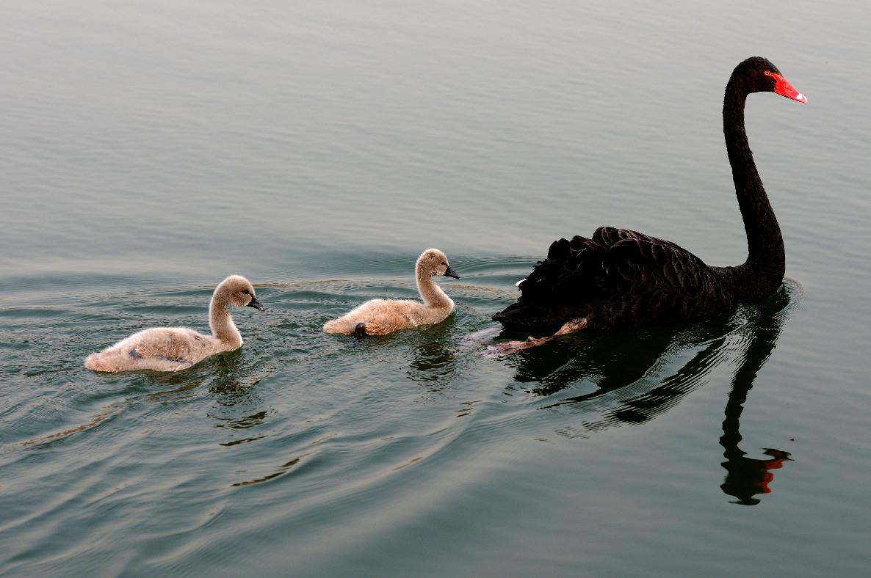 """3月8日,北京圆明园,黑天鹅妈妈带着刚刚满月的小天鹅""""宝宝"""",在湖面上"""