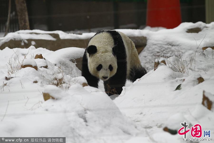 """郑州大熊猫锦意_郑州动物园大熊猫""""锦意""""死亡情况通报[组图]_图片中国_中国网"""