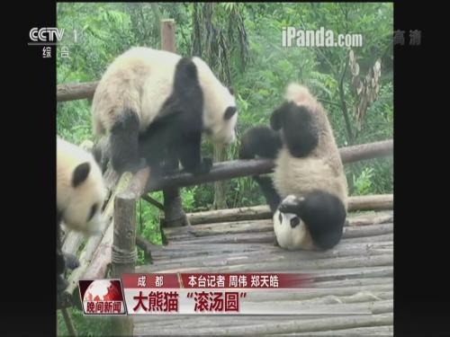 壁纸 大熊猫 动物 狗 狗狗 500_375