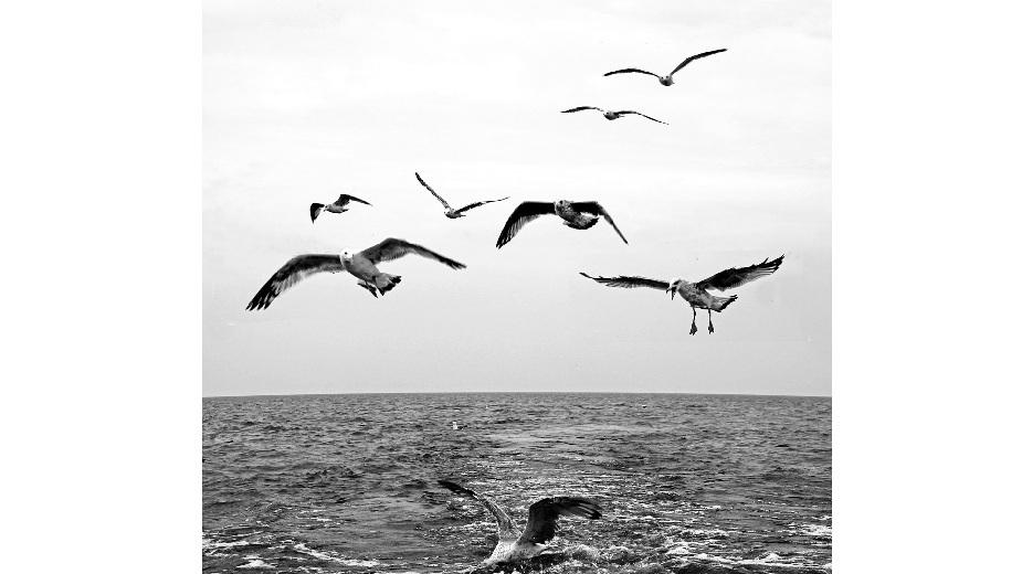 黑白摄影:欢情的海鸥