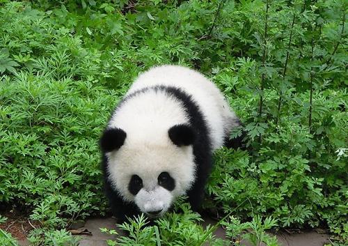 """大熊猫""""阿宝""""将野化培训"""