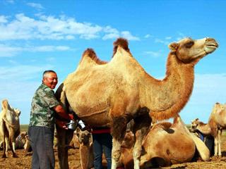 【图片故事】哈萨克族小牧民叶尔江家的牧驼生活