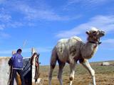 在驼场,小骆驼和大骆驼是分开的