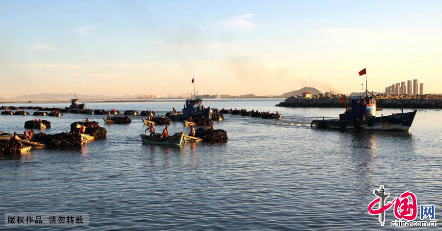 山东省荣成市蜊江港,养殖工人运载着装满海带的船只抵达港口。