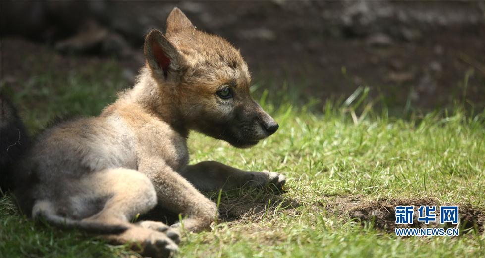 近日,沈阳市森林野生动物园小动物村新出生的9只草原狼幼崽在经过近50