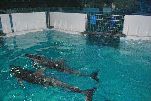 宁波海洋世界海豚恋人不远千里来相聚