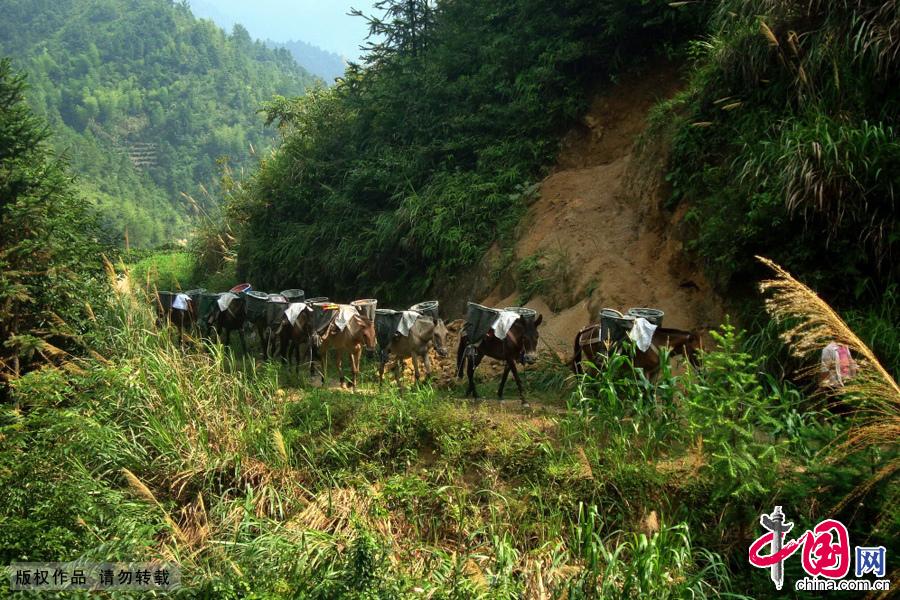 江西省遂川县戴家埔乡一支马帮在运输物资的途中。