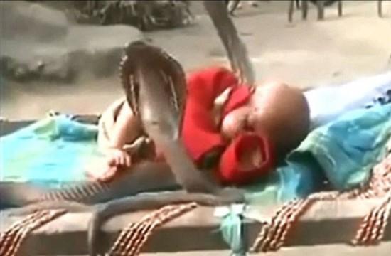 """眼镜蛇""""保护""""婴儿酣睡视频引震惊"""