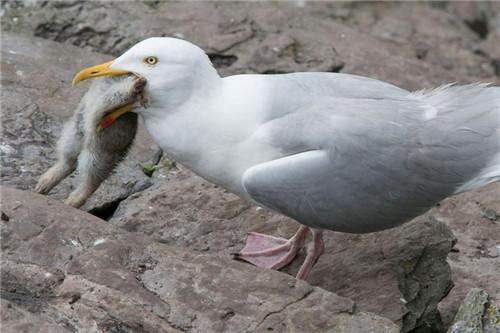 英国一海鸥厌倦吃鱼生吞整只兔子