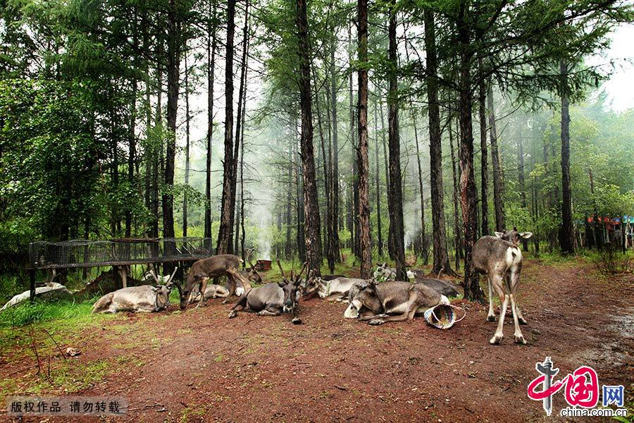 鄂温克族是中国唯一饲养驯鹿的少数民族。