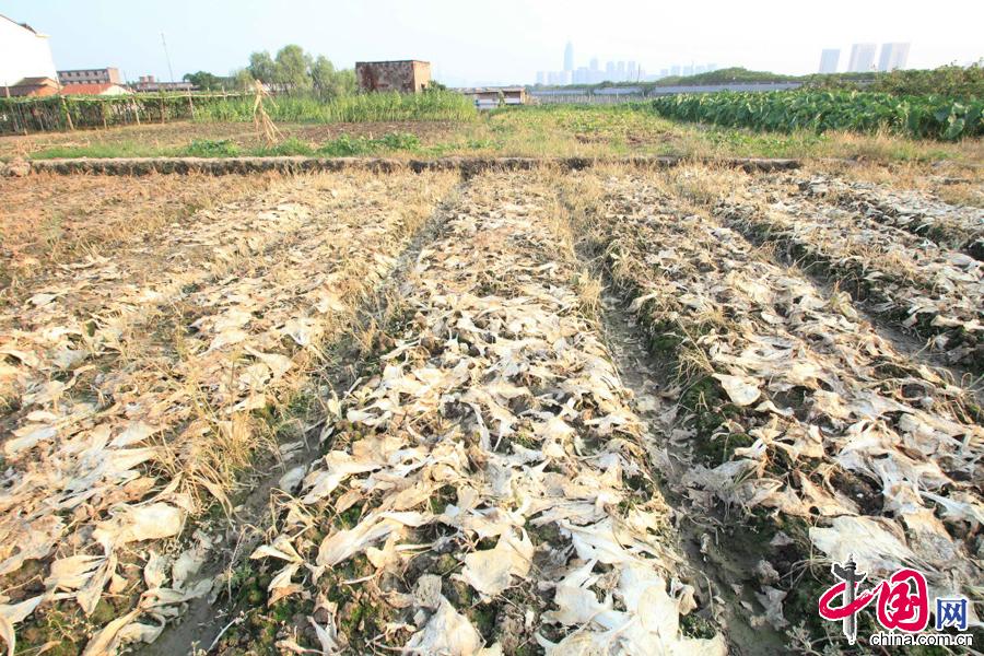 2014年8月3日下午拍摄的浙江绍兴市区蔬菜批发市场旁边,由于持续高温引起的旱情照片。 中国网图片库李瑞昌摄影
