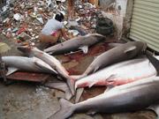 三亚渔民捕获鲨鱼出售