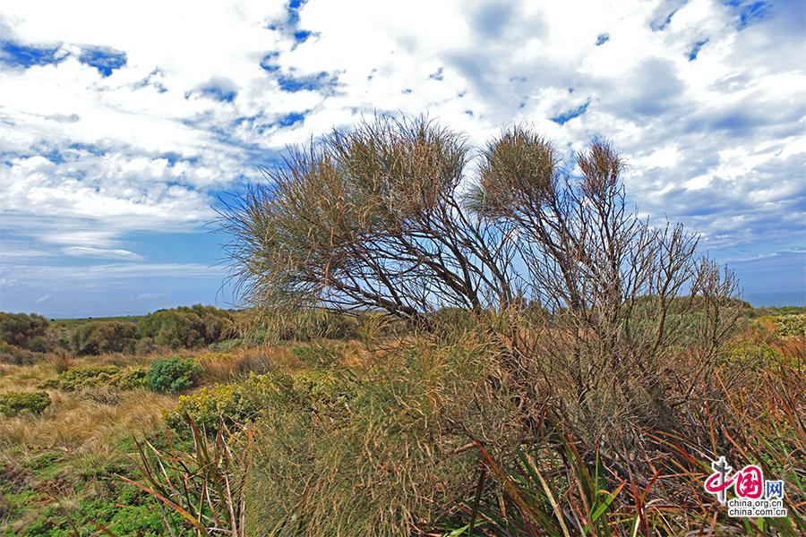 植物常年被海风吹向一个方向生长