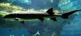 中华鲟首次未自然繁殖 最危险远古海洋生物揭秘