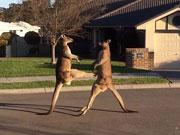 澳大利亚袋鼠当街'斗殴' 腾空跃起狂踢对方