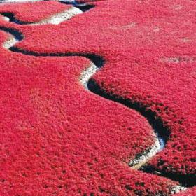 红海滩,直升机,辽宁盘锦,游客,湿地资源