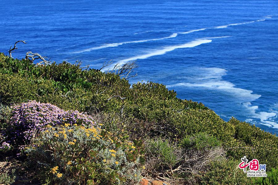 絢色南非(十六)桌山國家公園,帝王花的姿態