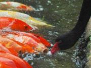 """深圳黑天鹅连续7年每天给锦鲤""""喂食"""""""